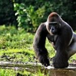 cameroon hunting safaris gorilla