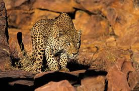 photographic safaris leopard